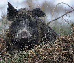 Dlg E V Schweinepest Danemark Zieht Zaun Hoch